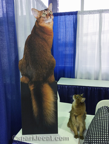 somali cat looking at cutout of other somali cat