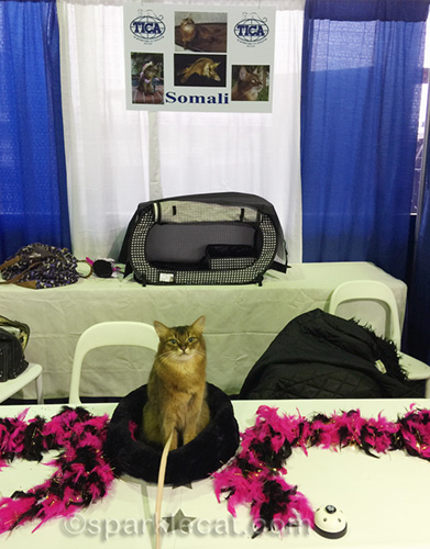 somali cat at somali cat booth for Meet the Breeds