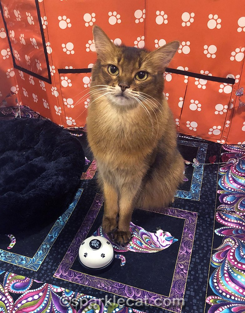 somali cat with her bell
