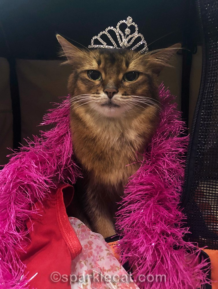 somali cat in tiara and boa with cat show style
