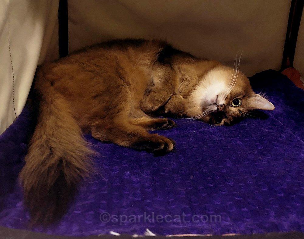 somali cat relaxing in enclosure