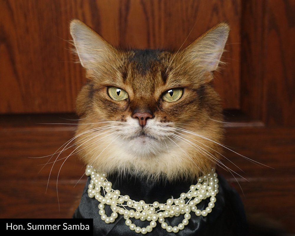 Somali cat in black judge robe and pearls