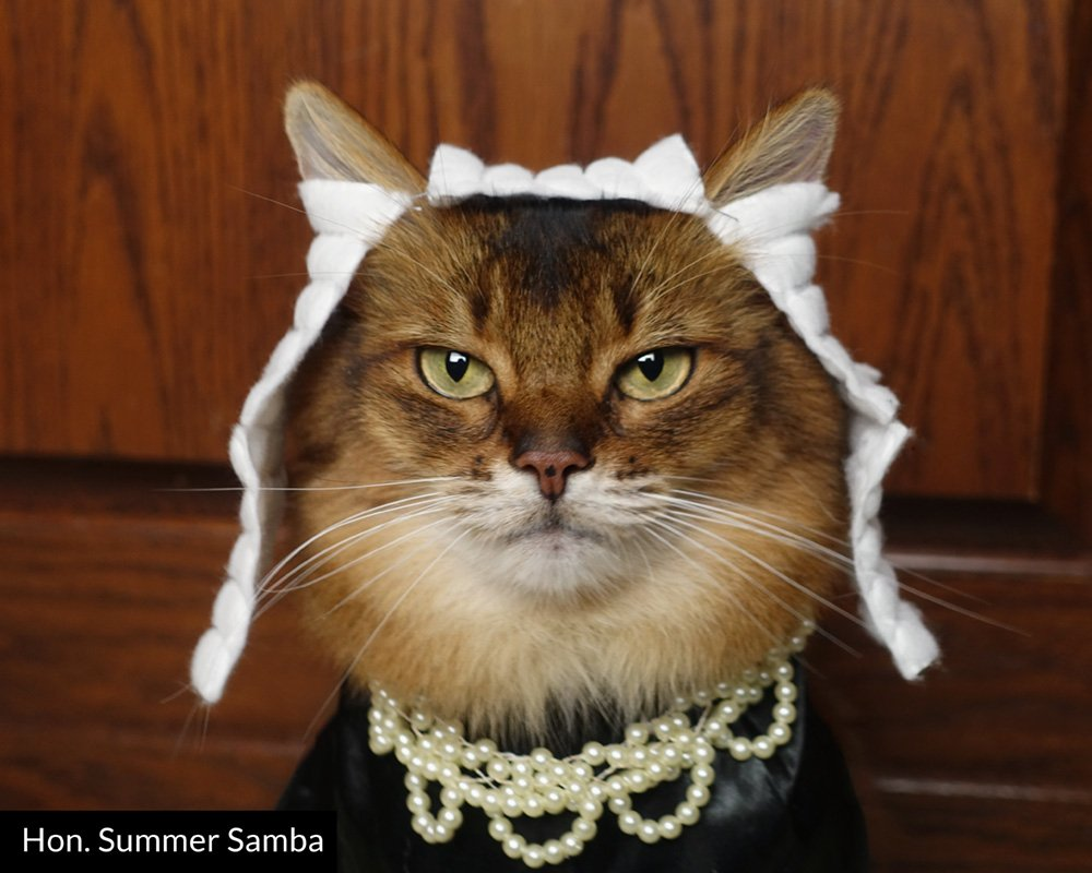 Somali cat dressed as a judge, including wig