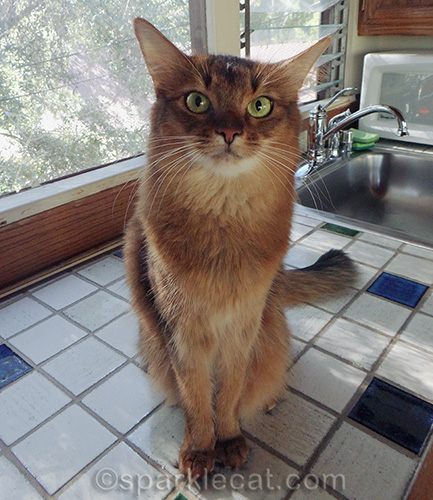 serious somali cat sitting on a tile counter