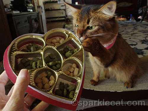 somali cat looking at Valentine's Day candy box full of cat treats
