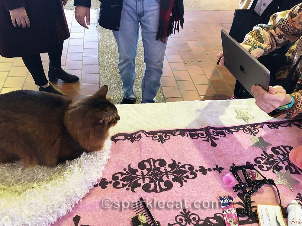 somali cat meeting and greeting fans at Meet the Breeds
