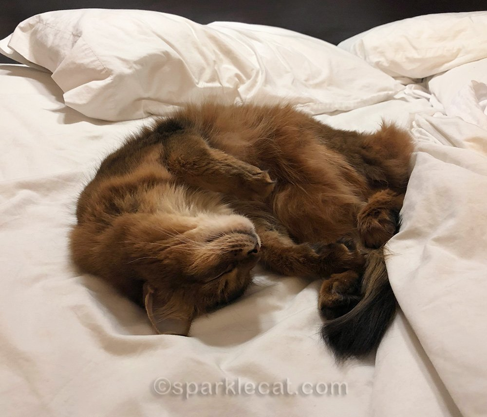 somali cat sleeping on hotel bed