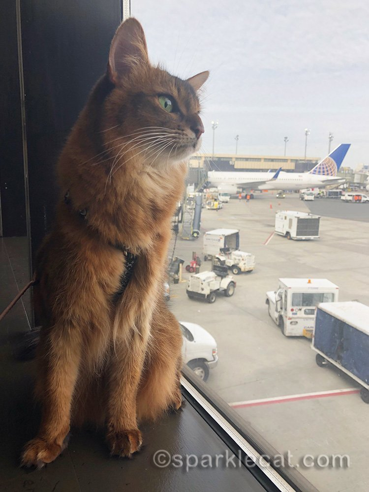 somali cat a Newark Airport, looking out window