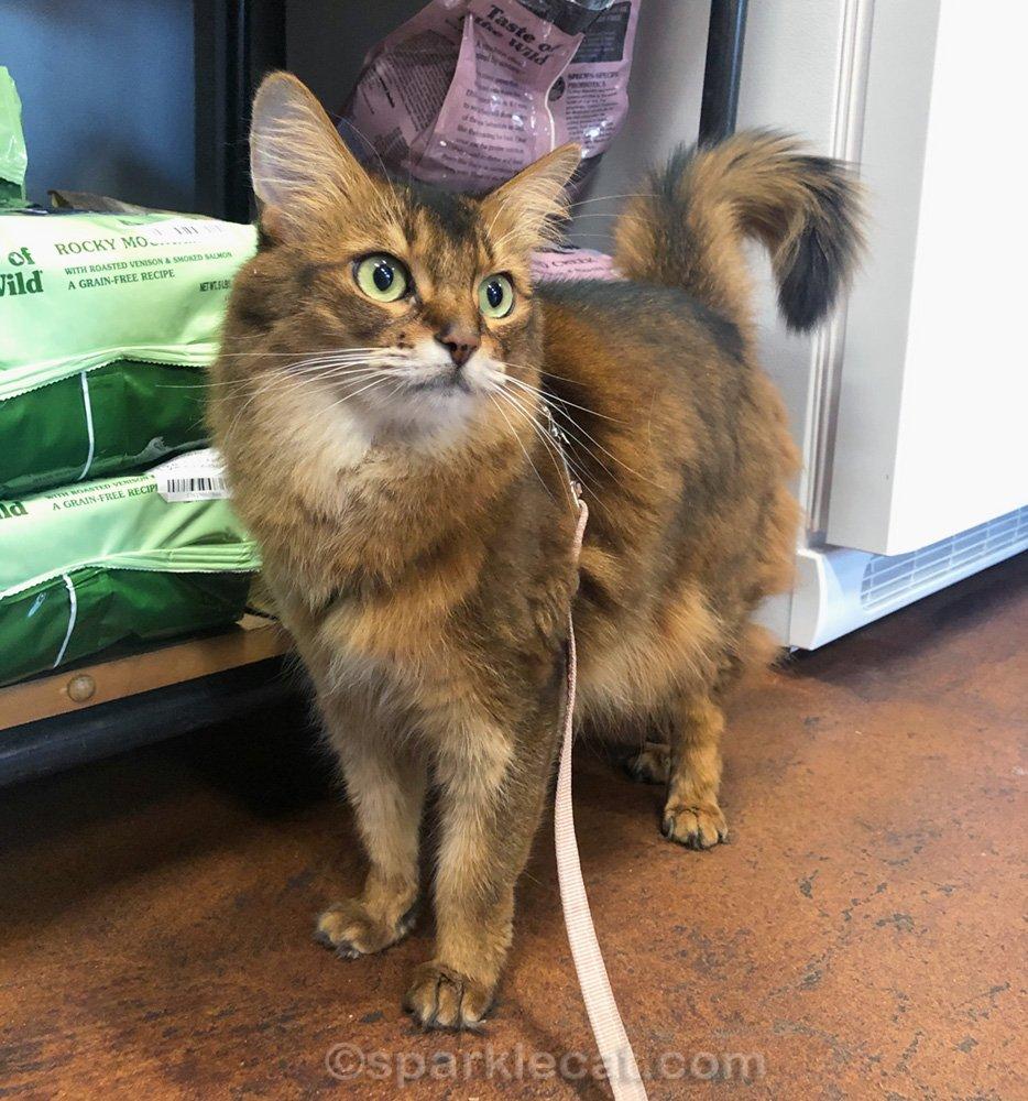 Somali cat in pet shop