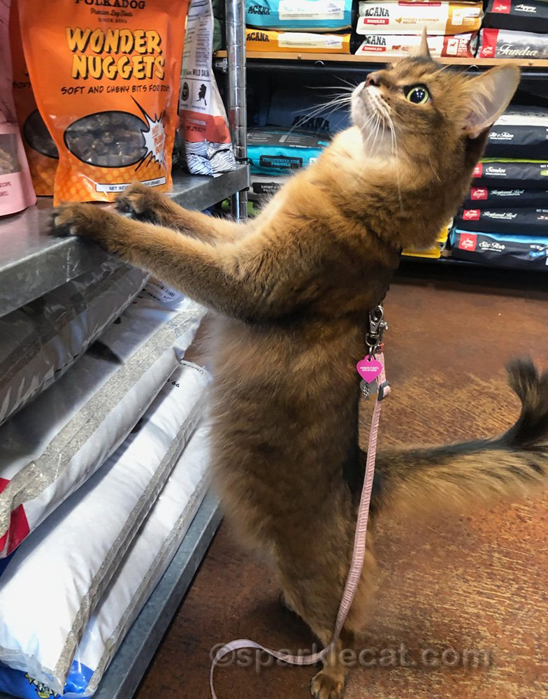 Somali cat on hind legs looking at pet shop counter