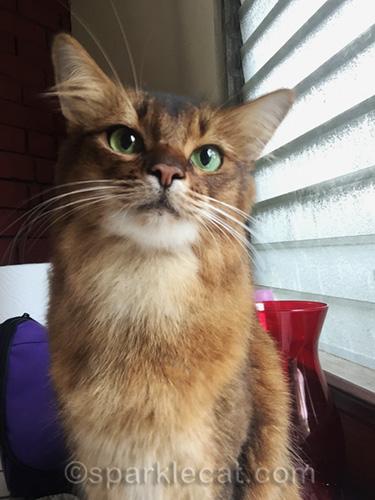 somali cat selfie, looking past camera