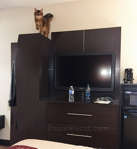 somali cat on top of cabinet in hotel room