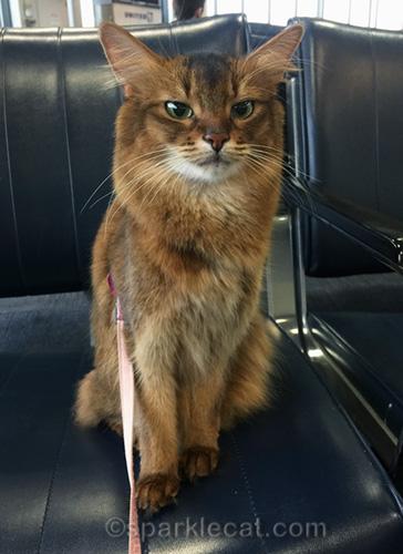 somali cat at Newark Airport