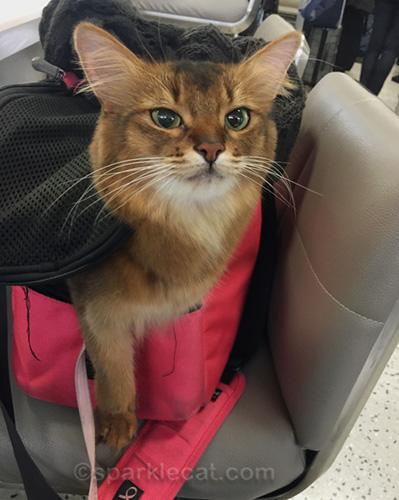 somali cat at boarding gate