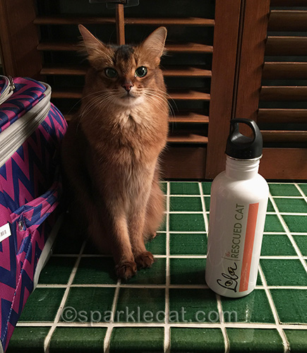 somali cat with bottle from Lola the Rescued Cat