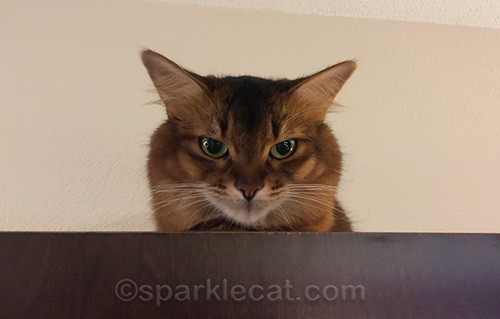 somali cat on top of cubby