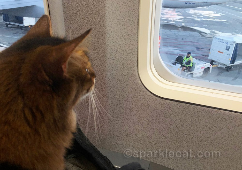 somali cat looking out airplane window