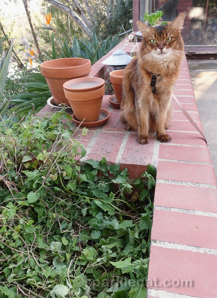 somali cat unhappy with condition of her catnip garden