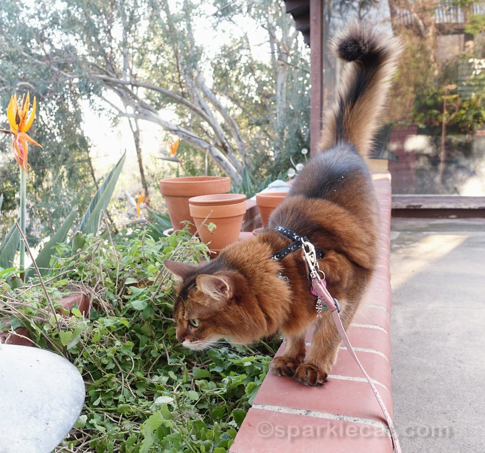 somali cat inspecting damage done to her catnip garden