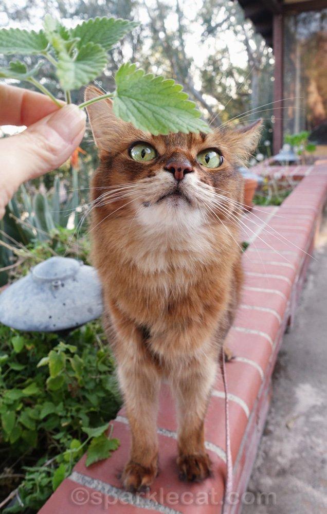 somali cat examining a sprig of catnip