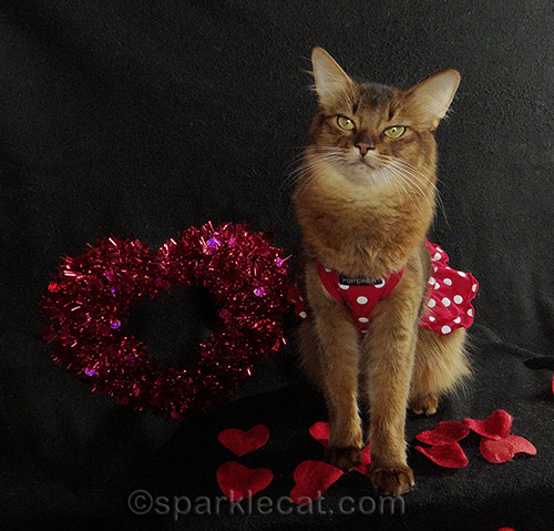 Somali cat posing in a dress for Valentine's Day
