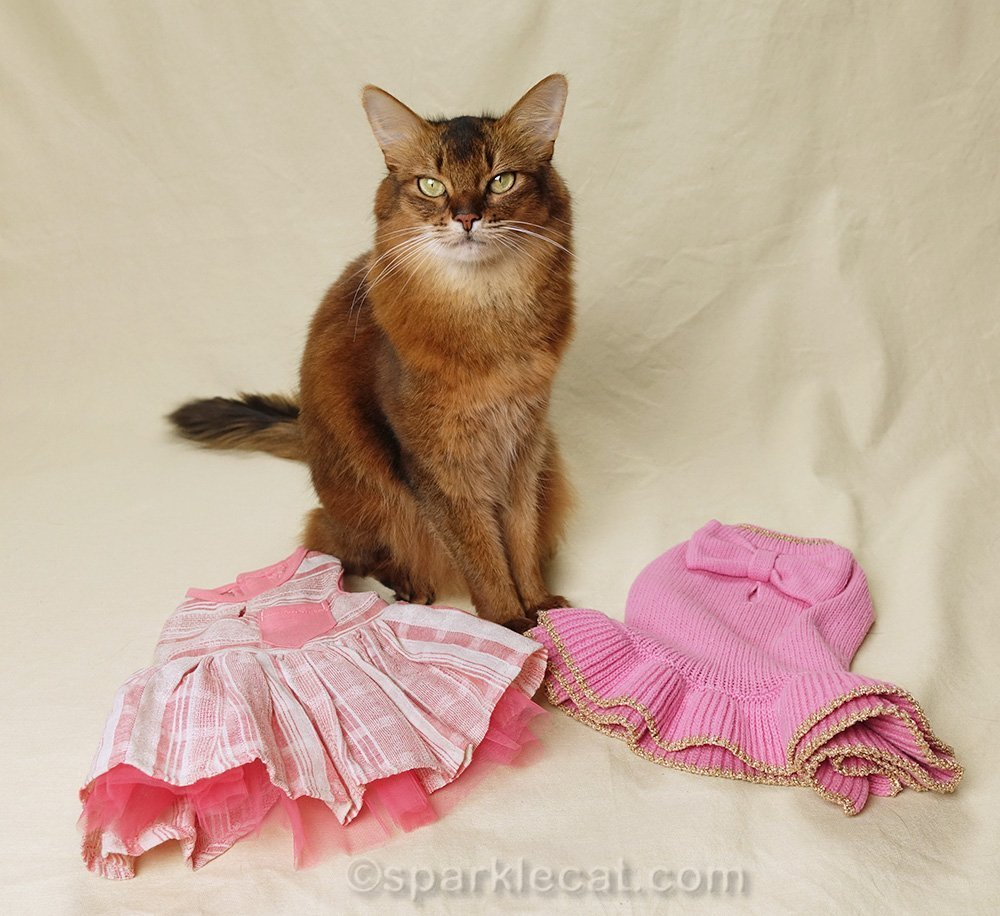 somali cat with a pair of unintentional new dresses