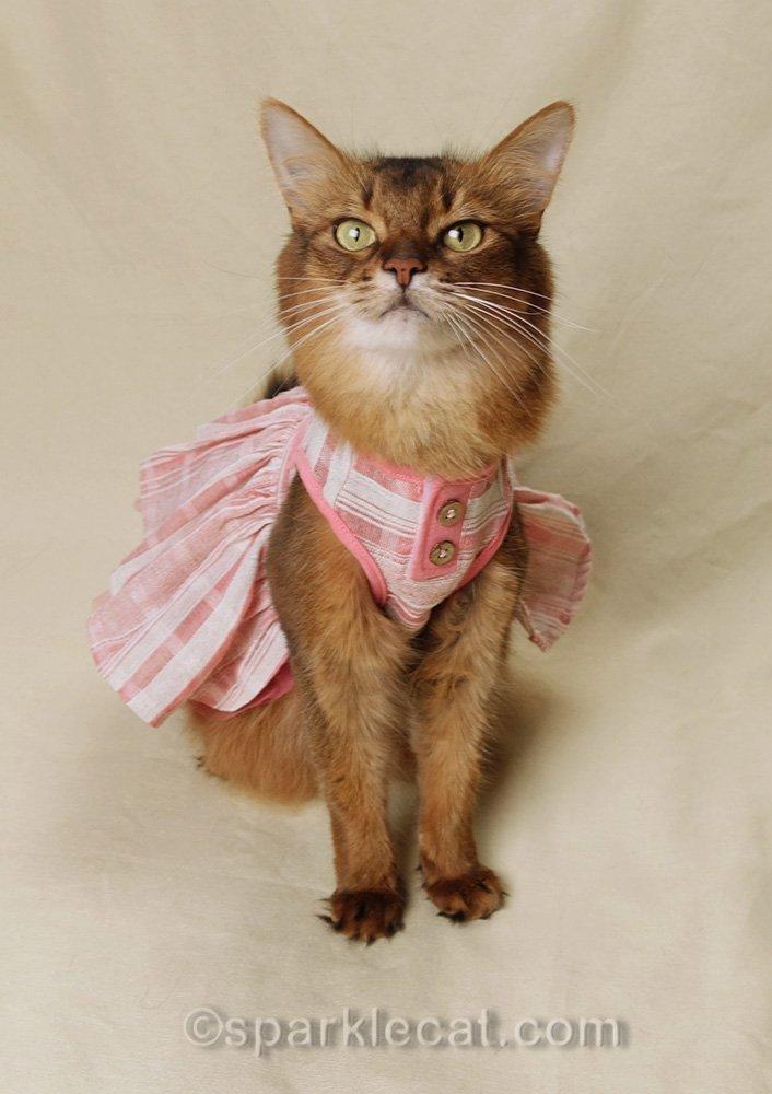 somali cat in pretty spring dress