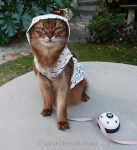 somali cat with light hoodie for garden time