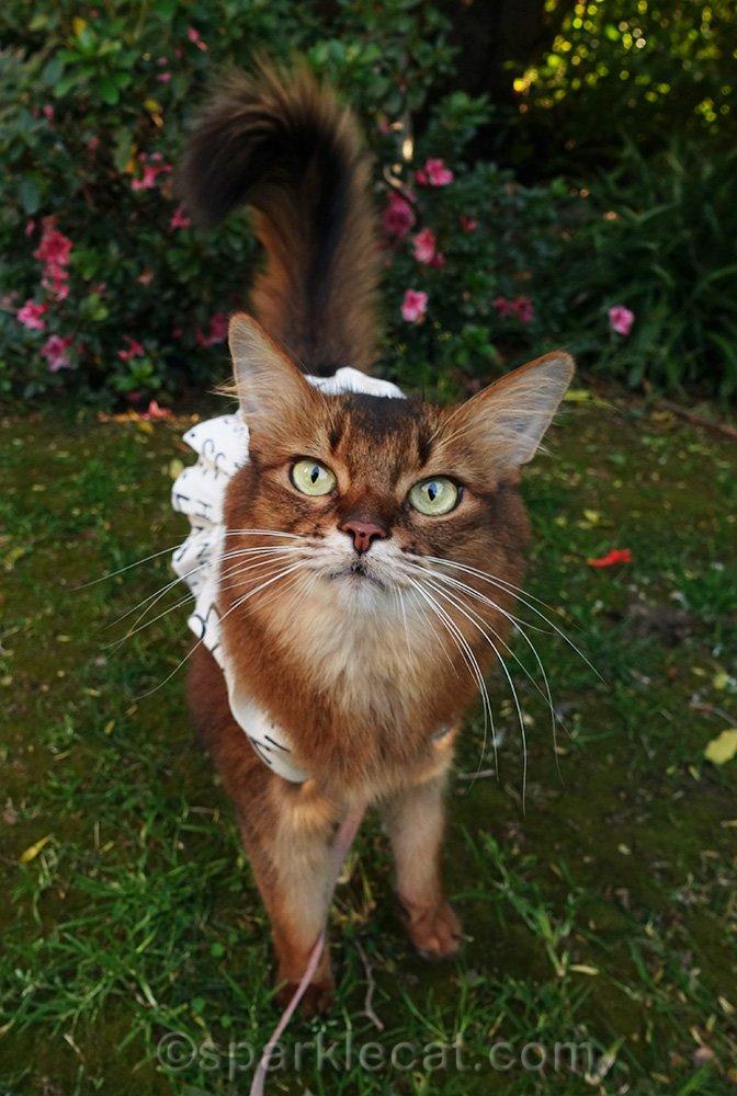 somali cat on leash in front garden