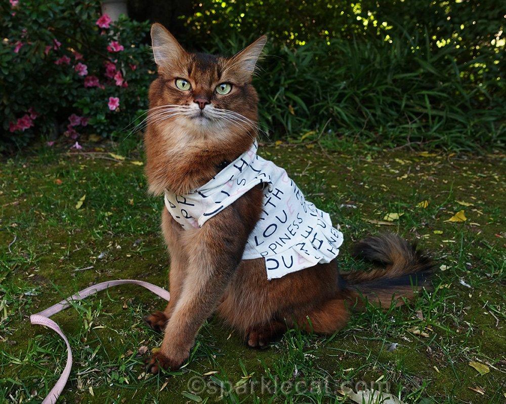 somali cat posing for photo in garden