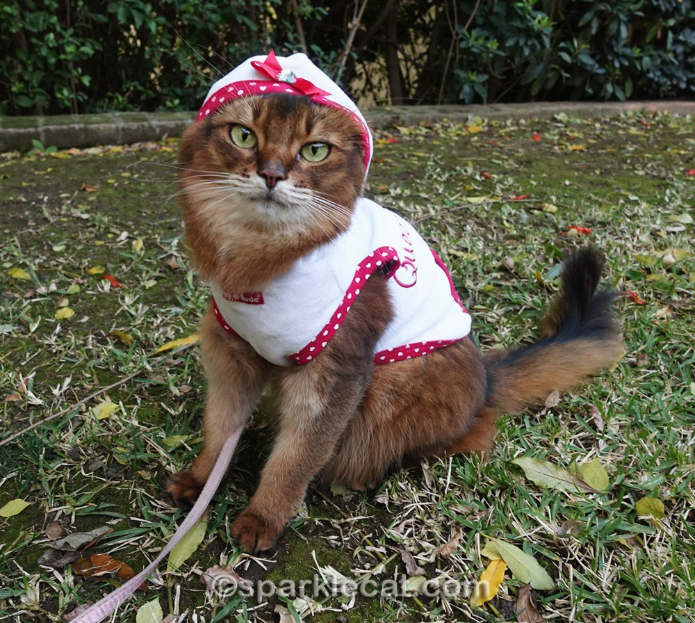 somali cat posing with hoodie on
