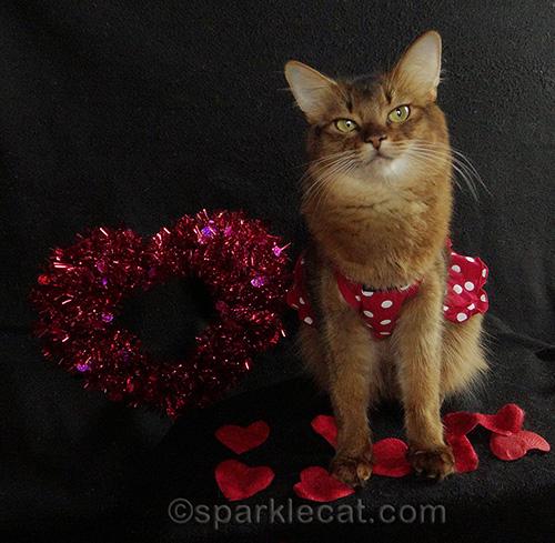 somali cat posing on a Valentines day set