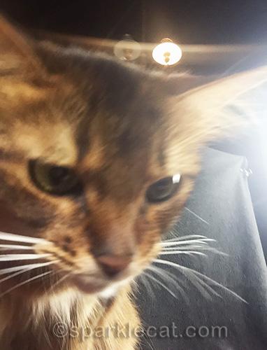 closeup of a somali cat