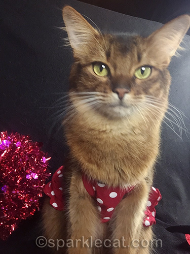 somali cat selfie in a red polka dotted dress
