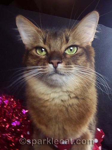 somali cat selfie portrait