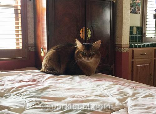 somali cat on bed
