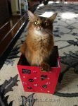 somali cat looking unhappy in a cute Valentines box