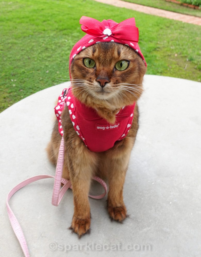 somali cat wearing red hoodie outside