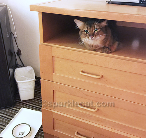 Somali cat on hotel dresser in Palm Springs