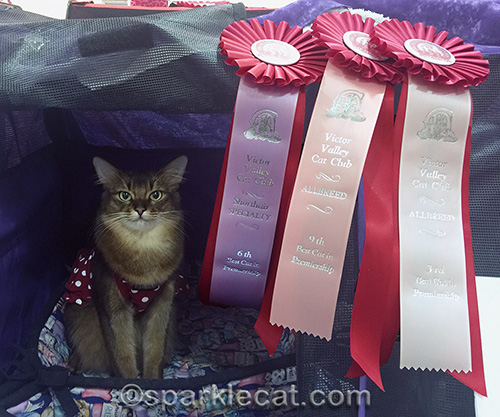 somali cat in a polka dot dress with cat show ribbons