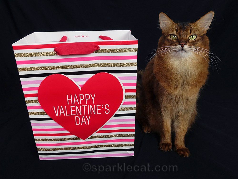 somali cat with gift bag for Valentine's Day photo shoot