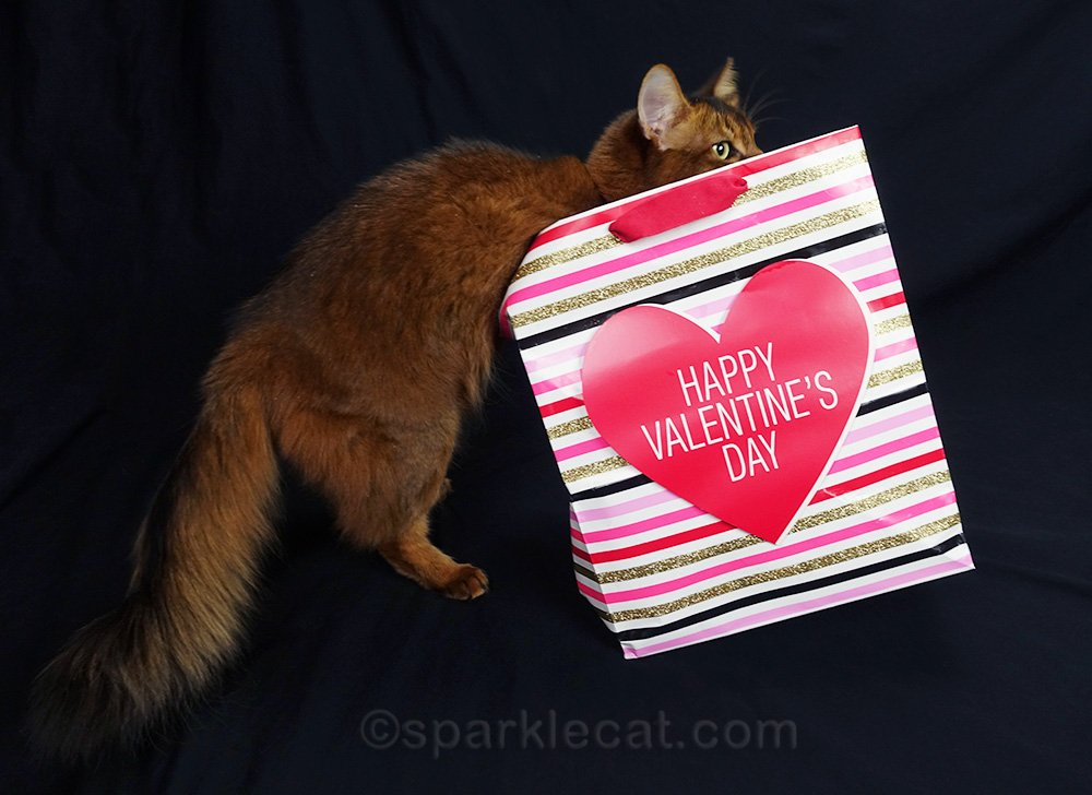 somali cat climbing into Valentine's Day gift bag