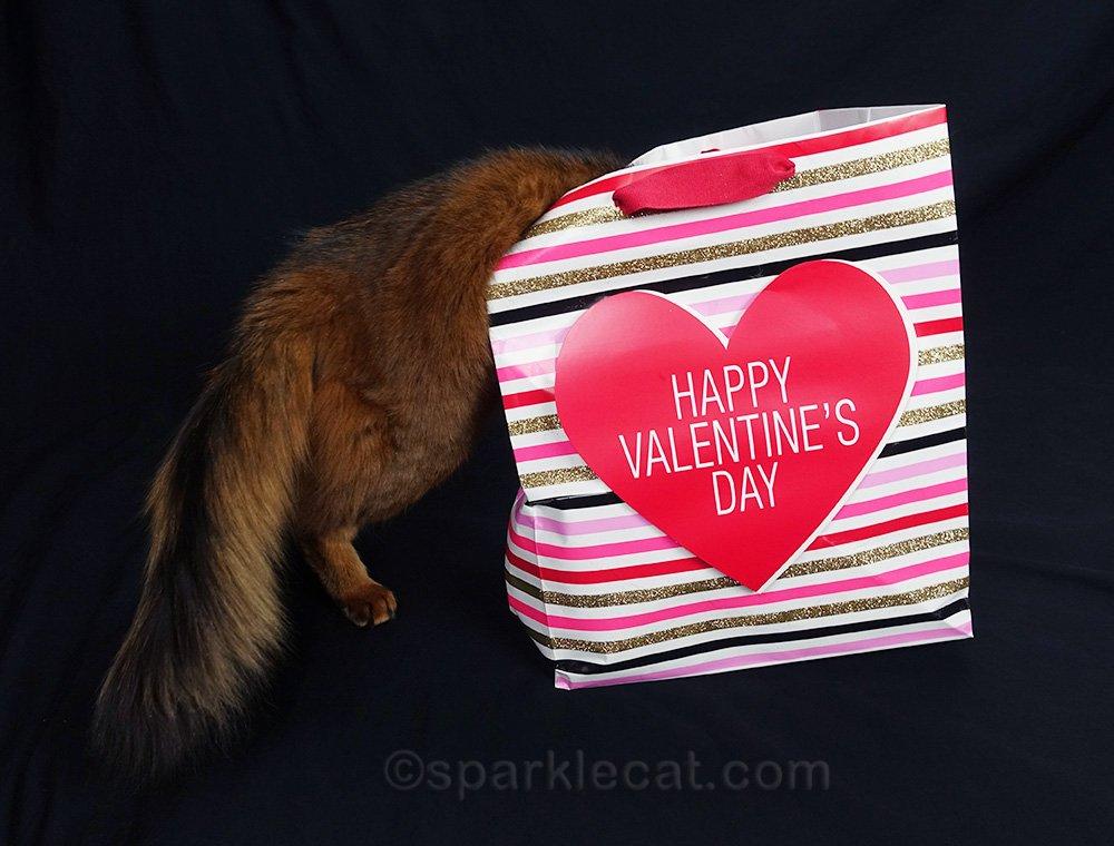 somali cat inadvertently crushing Valentine's Day gift bag