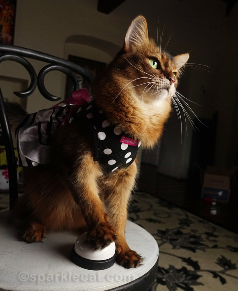 somali cat ringing bell during Acrocats Zoom birthday party
