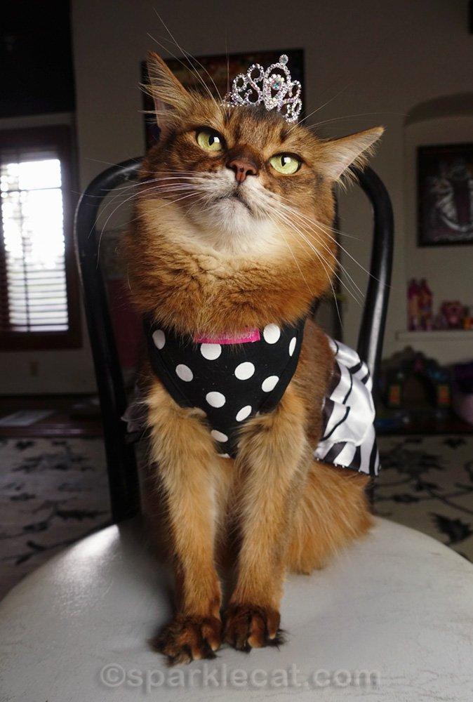 somali cat wearing party dress and tiara