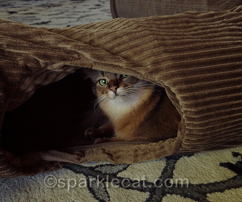 somali cat peeking out of Neko Pawdz tunnel hole