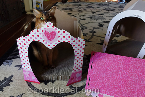 Somali cat helping with home renovation