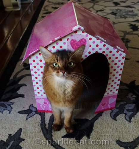 somali cat half in and half out of Valentine scratcher house