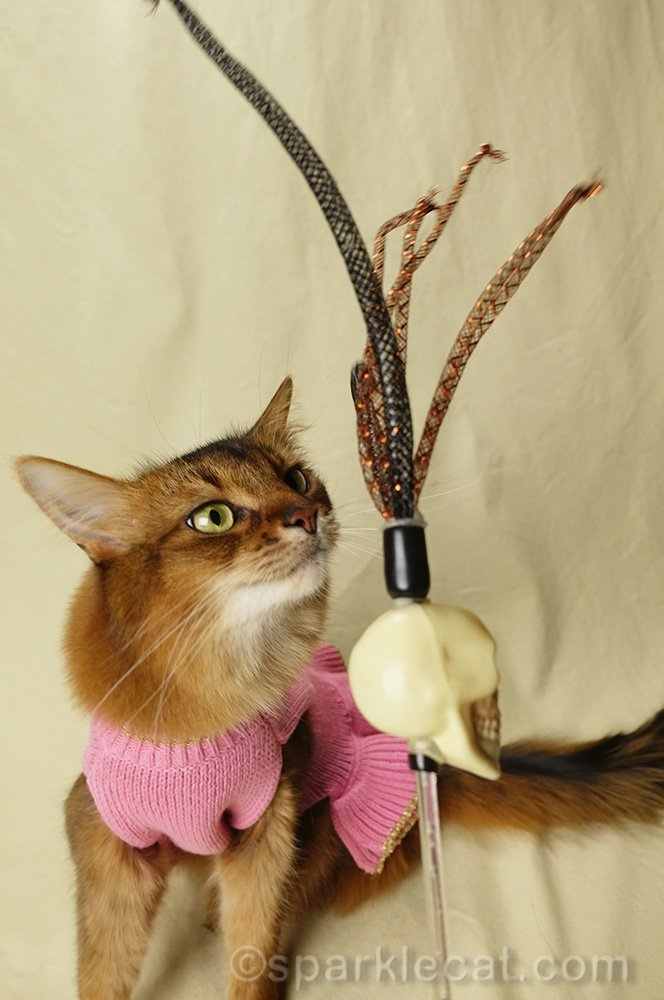 somali cat with rattle skull toy, her modeling secret weapon