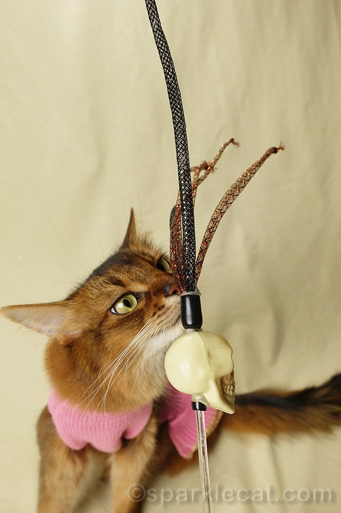 somali cat sniffing cat toy